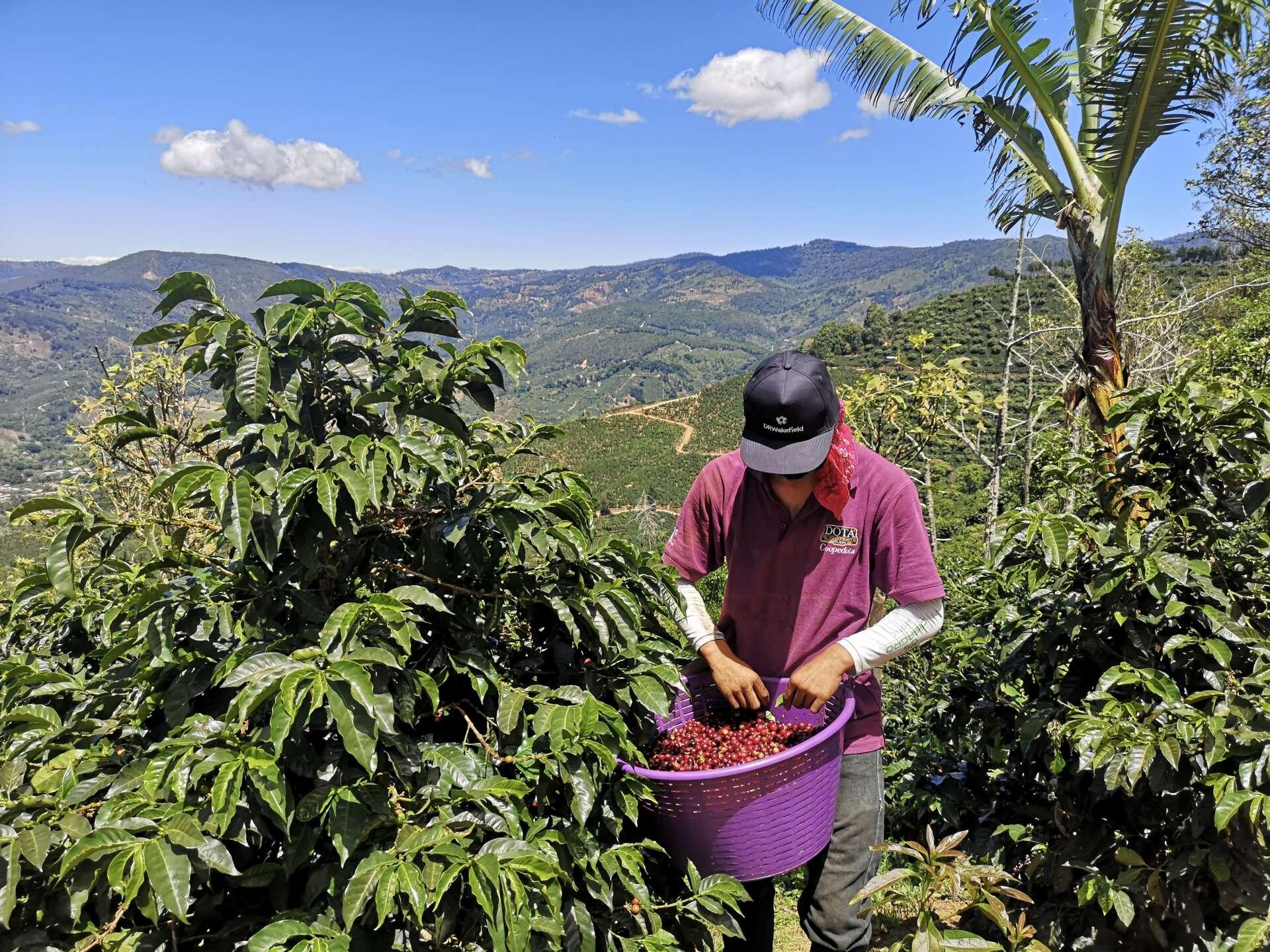 Java republic picking coffee beans